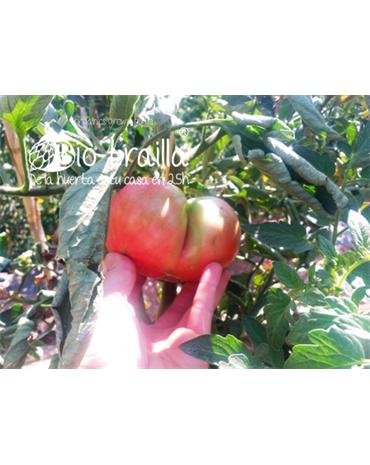 Tomate Rosa